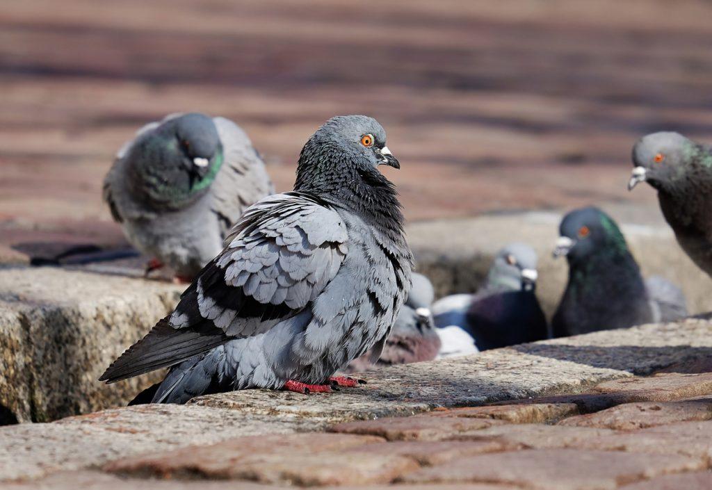 Feral Pigeon Problem